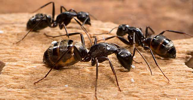 Carpenter Ants : carpenter ants in attic  - Aeropaca.Org