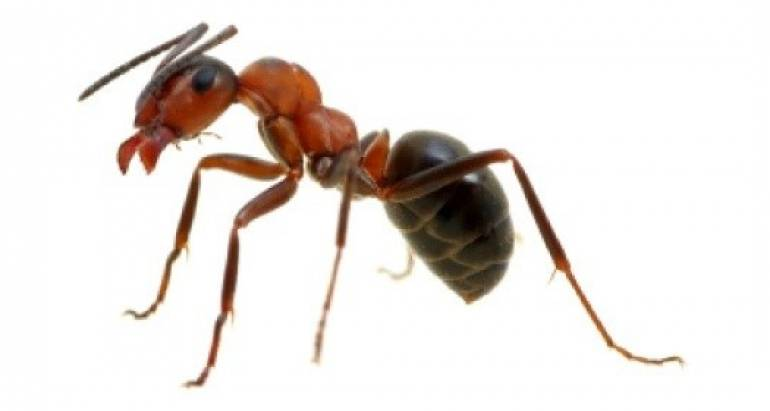 Other Ants
